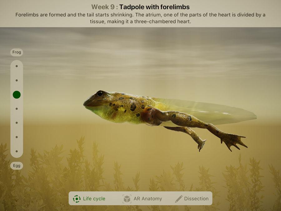 Приложение Froggipedia позволяет проследить развитие головастика