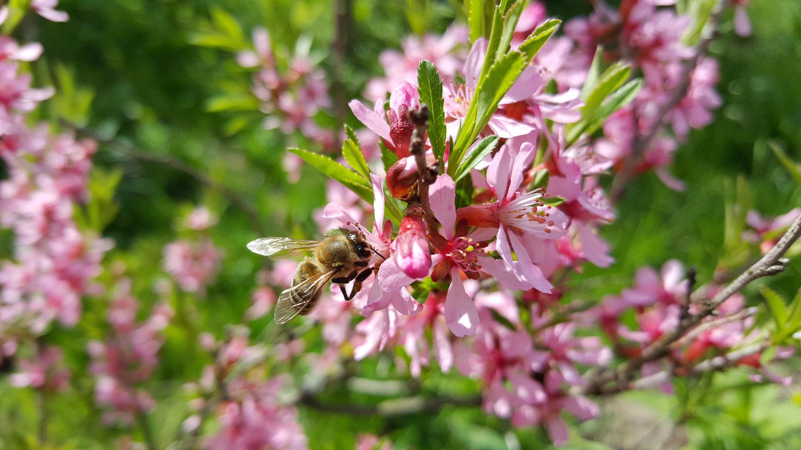 Пчелка на цветущем миндале. Снято на Samsung Galaxy S6 Edge