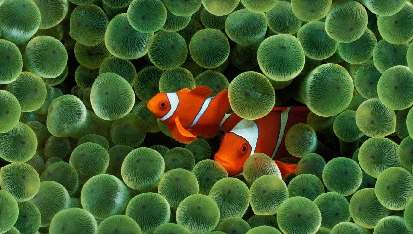 Рыбки-клоуны на стандартной заставке iPhone первого поколения