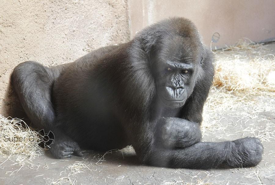 Горилла в чешском зоопарке